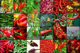 Chili und Paprika das Gemüse des Jahres 2015