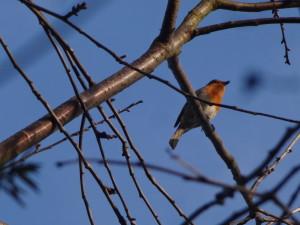 Die Singwarte des Rotkehlchens: Frühlingserwachen