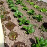 Melitta Filter 146 lässt Mangold wachsen