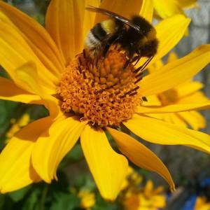 Bienen im Gemeinschaftsgarten Tausendschön