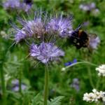 Insektenweide Die Blüten der Phacelia auf unserem Blühstreifen sind wirklich sehr beliebt bei Hummeln, Bienen und Schmetterlingen...