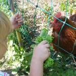 Kinderglück hat viele Namen. Hier heißt es Hühner füttern. Das Mädchen ist 3 1/2 Jahre und liebt es die Hühner zu füttern, streicheln und auf den Arm zu nehmen