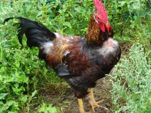 Der Hahn – göttlicher Feuer-Vogel