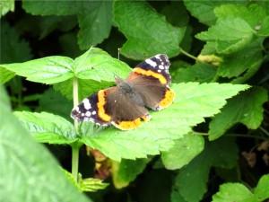 ... In Deutschland gehört der Admiral zu den häufigen Schmetterlingen