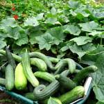 """""""Misfits"""" bedeutet """"Außenseiter"""" oder """"Sonderlinge"""". Draußen auf unseren Feldern wachsen Obst und Gemüse nicht nach Norm."""