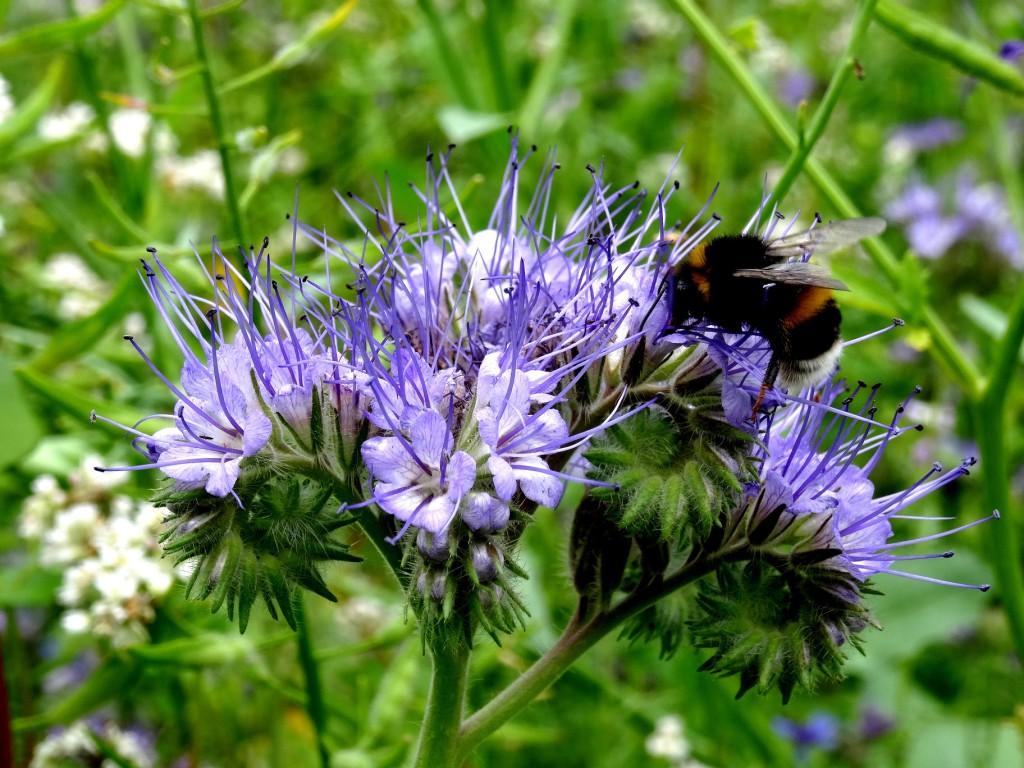 Ergibt eine gute Bodenstruktur und ist eine erstklassige Nahrungsquelle für Biene,