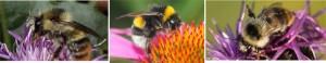 Bunte Hummel – Wildbiene des Jahres 2016