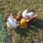 Hühnertränke