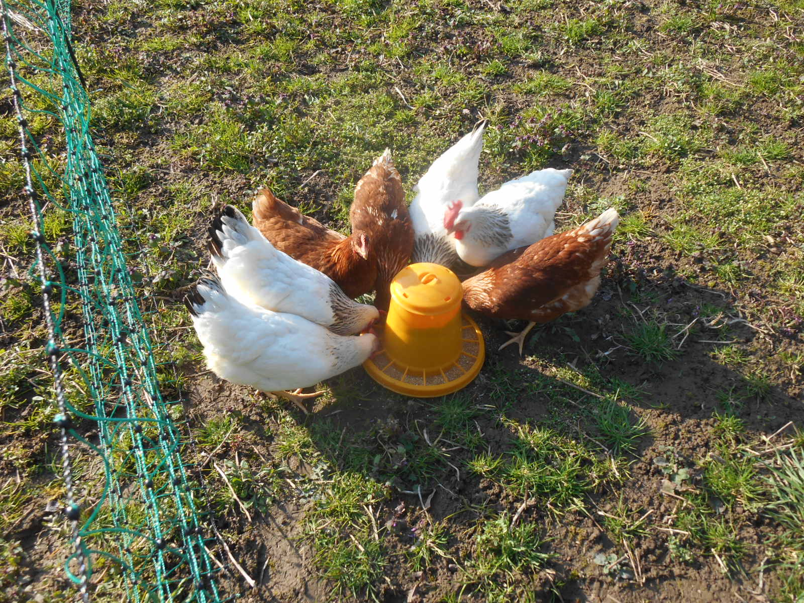 Hühnertränke | Tausendschön