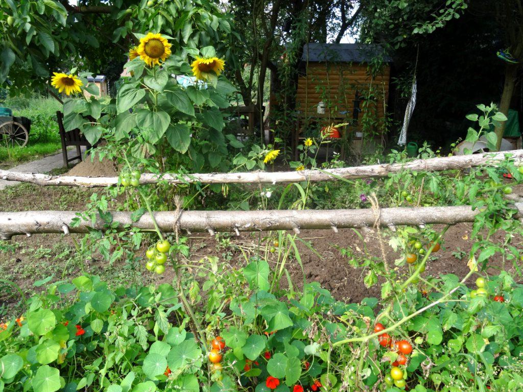sonnenblumen-tomaten