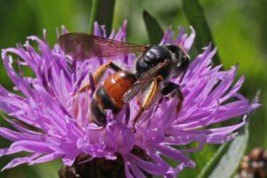 Wildbiene des Jahres 2017: Die Knautien-Sandbiene