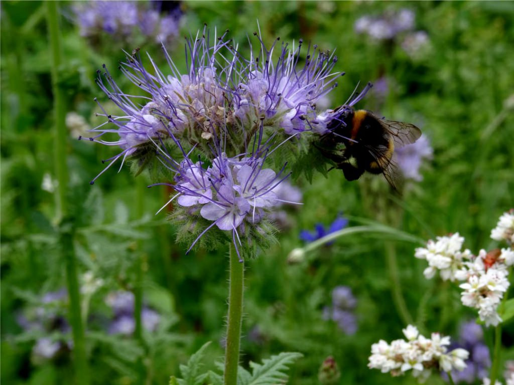 Bienen-im-Kräutergarten-