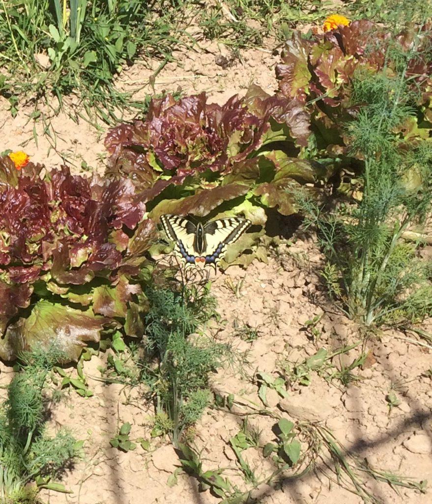 Schmetterling Schwalbenschwanz im Dill
