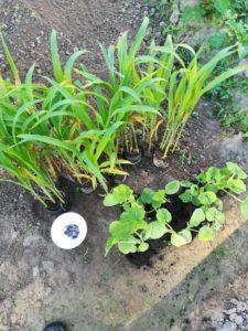 Milpa, die tausendjährige Agrarökologie